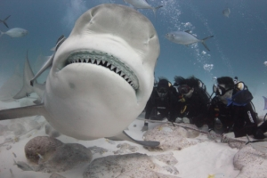 shark-season-playa-del-carmen-phantom-divers-mexico-hot-spot-